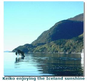 Keiko breaching in sunshine